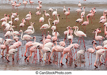 Huge colony of Rosy Flamingo in Walvis Bay Namibia, overcast, True wildlife