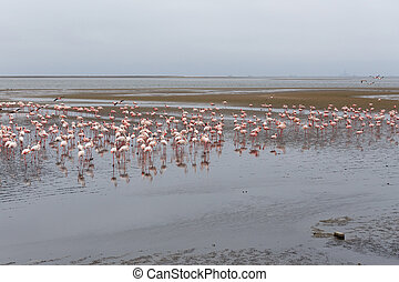 Rosy Flamingo colony in Walvis Bay - Huge colony of Rosy...