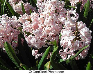 Rosy hyacinths - Close up of a bunch of rosy hyacinths in ...