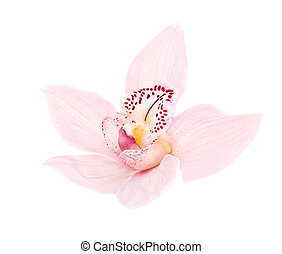 rosy orchid isolated on white background - one rosy...