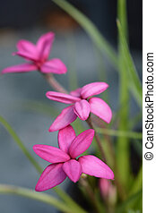 Rosy posy pink flowers close up - Latin name - Rhodohypoxis...