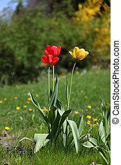 rot gelb, tulpen, auf, der, wiese