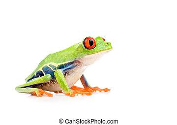 rot-gemusterter baum- frosch, freigestellt, weiß