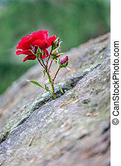 rot stieg, grows, in, a, spalte