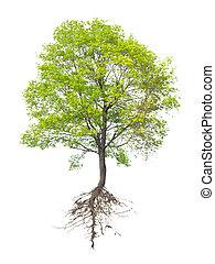 rot, träd