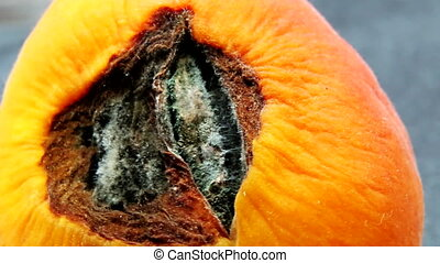 Rotating apricot with mold. Cracked apricot with kernel....