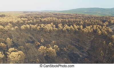 Rotating around burnt pine tree forest - Aerial view of...