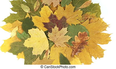 autumn leaves - Rotating autumn leaves over white