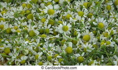 Rotating fresh medical chamomile  background