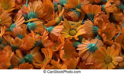 Rotating fresh medical marigold calendula flowers background