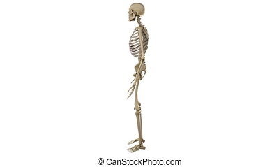 Rotating male skeleton, anatomically accurate, with alpha ...
