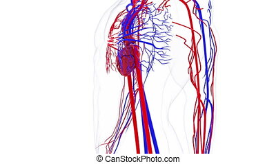Rotating model of the human circulatory system. 3d rendering blood vessels. The medical background, computer generated.