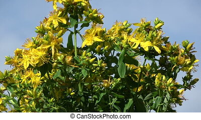 Rotating on blue sky background medical St. Johns wort...