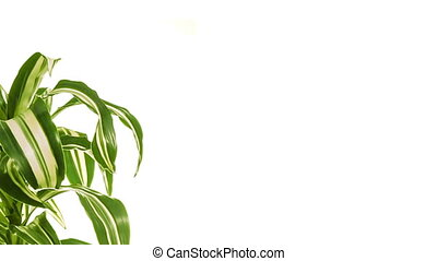 Rotating plant with copy space. Isolated on white.
