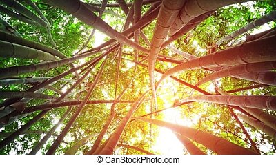 Rotating, skyward perspective of giant bamboo stalks, topped with healthy, green leaves, in a wilderness area near Kandy, Sri Lanka. FullHD video