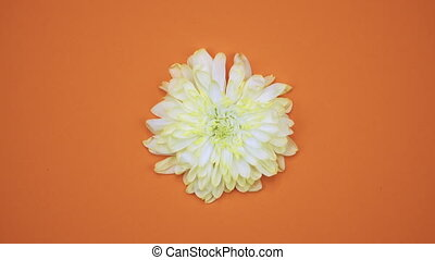ROTATION: A flower are rotating on a orange background. Top view