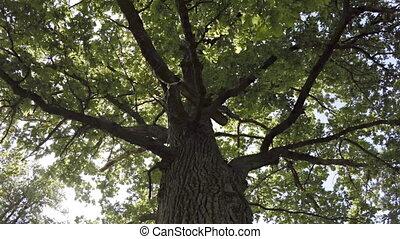 Rotation around an old oak trunk. FullHD 1080p video