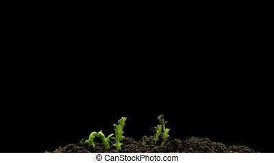 Chickpeas Seeds Germination on Black Background - Rotation...