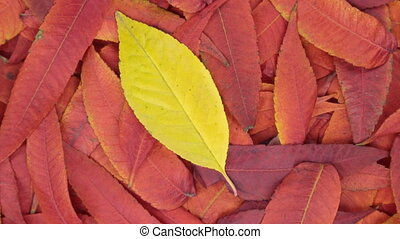 Rotation of the background of red leaves and one yellow...