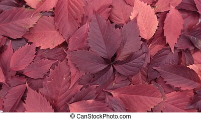 Rotation of the background of red leaves. View from above....