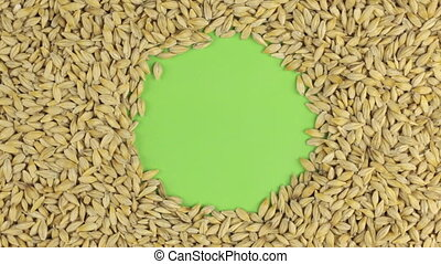 Rotation of the barley grains lying on a green screen, chroma key.