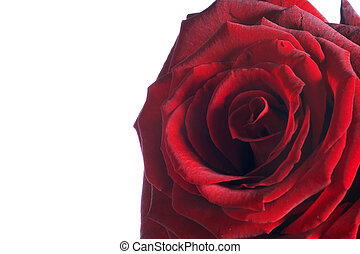rote Rose - red Rose - red Rose on white Background - rote...