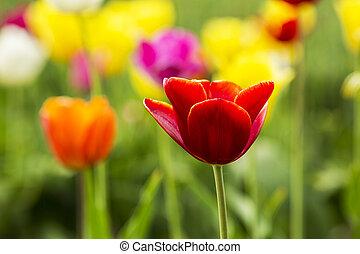 rote tulpe, blume, in, a, feld