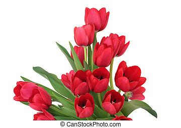 rote tulpe, blumen