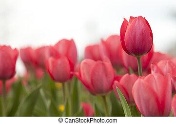 rote Tulpen, red tulips - Tulpenfeld
