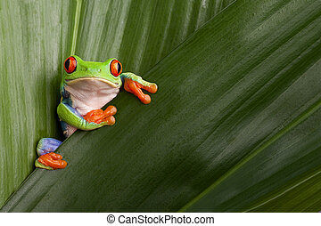 roter gemusterter baum- frosch
