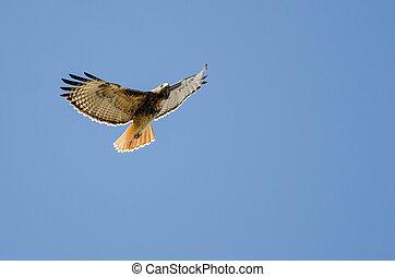 roter tailed habicht, fliegendes, in, a, blauer himmel