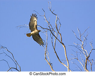 roter tailed habicht, fliegendes