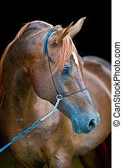 rotes , arabisches pferd, porträt, auf, schwarz