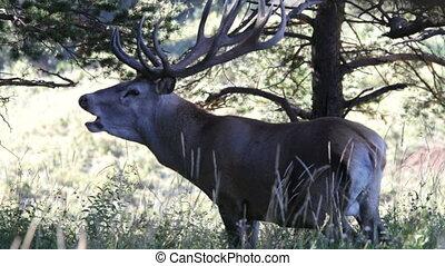 rotes , deer., berge.