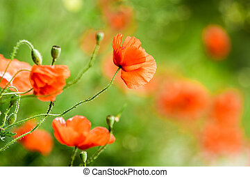 rotes , mohnblumen, in, sommer