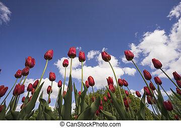 rotes , tulpen, auf, a, blauer himmel, hintergrund.