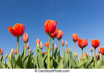rotes , tulpen, auf, a, blauer himmel