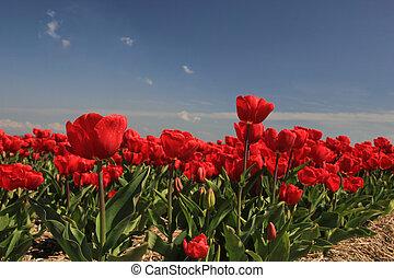 rotes , tulpen, auf, a, feld