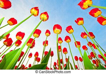 rotes , tulpen, auf, a, hintergrund, von, blauer himmel