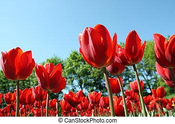 rotes , tulpen, auf, blauer himmel, draußen