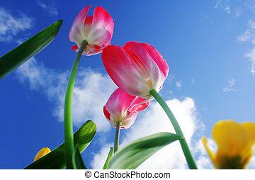 rotes , tulpen, auf, blauer himmel