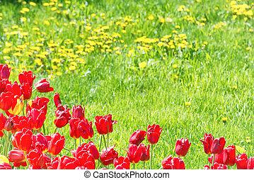 rotes , tulpen, auf, der, feld