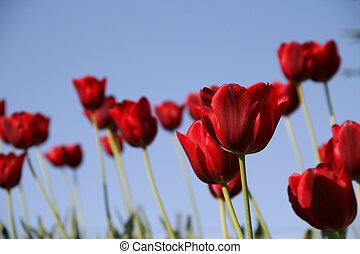 rotes , tulpen, feld, auf, a, blauer himmel