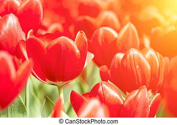 rotes , tulpen, unter, sonnenlicht, in, fruehjahr