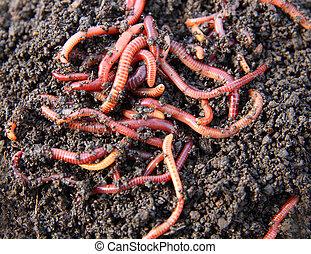 rotes , würmer, kompost