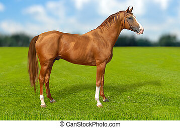rotes , warmbllood, pferd, auf, grünes gras