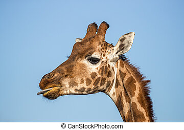 Rothschild's giraffe with tongue out