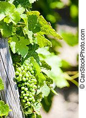 rotie, vigne, vert, france, rhone-alpe, vignobles, cote