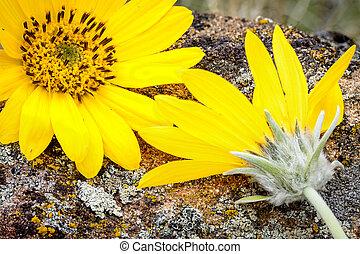 rots, bloemen, op einde, gele top, lente