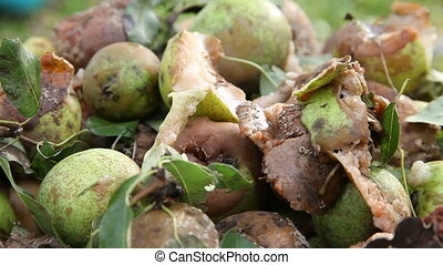 Rotten and ripe pears with flies on them